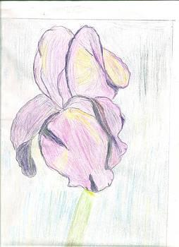 Iris Sketch by Carolyn Donnell