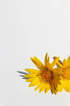 Isolated yellow chrysanthemum flower by Gal Ashkenazi