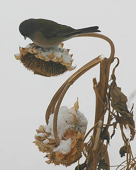 Junco on Sunflower by Laurie Penrod