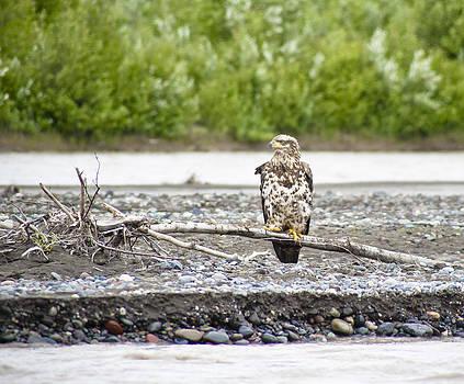 Juvenile Bald Eagle by Jen Morrison
