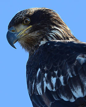 Juvenile eagle from side by Sasse Photo