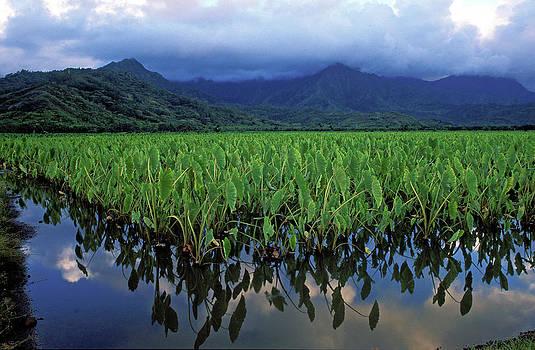 Kathy Yates - Kauai Taro Field
