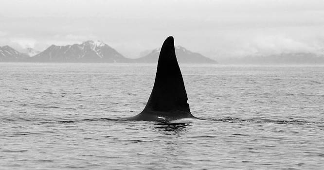 Killer Whale Fin Surfacing by Wyatt Rivard