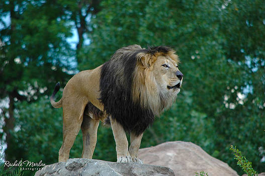 King Of The Jungle by Rachele Morlan