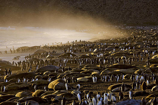 King Penguins And Elephant Seals Cover by Paul Nicklen