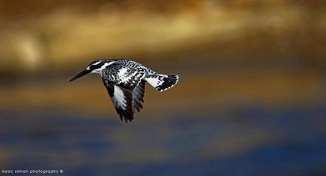 Isaac Silman - kingfisher