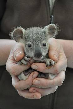 Koala by Sunkies Fang