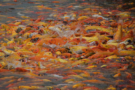 Koi feeding by Christopher Rowlands