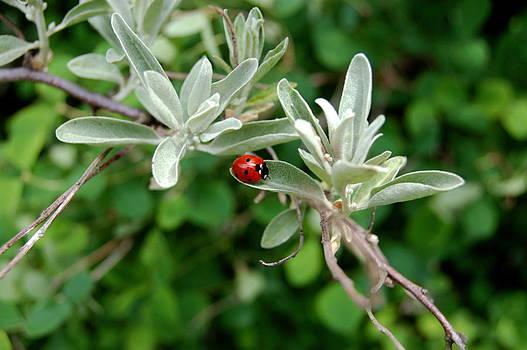 Ladybug by Lenka Kendralova