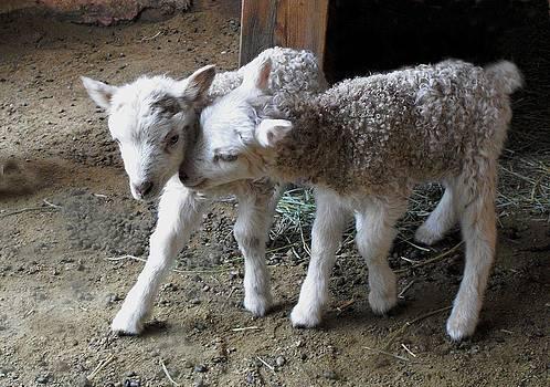 Kae Cheatham - lambs