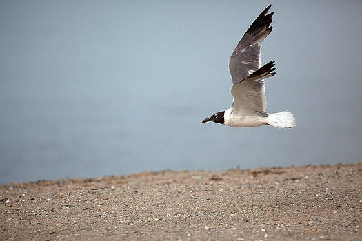 Karol  Livote - Laughing Gull in FLight