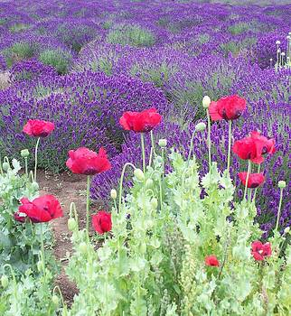Lavender and Poppies by Marilyn Lyon