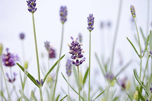 Lavender by Debbie Dee