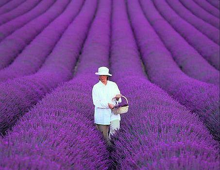 Lavender field of  French by Sunkies Fang