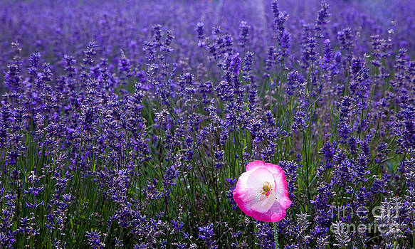 Simon Bratt Photography LRPS - Lavender field with poppy
