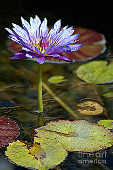 Lavender Lily by Tonia Noelle