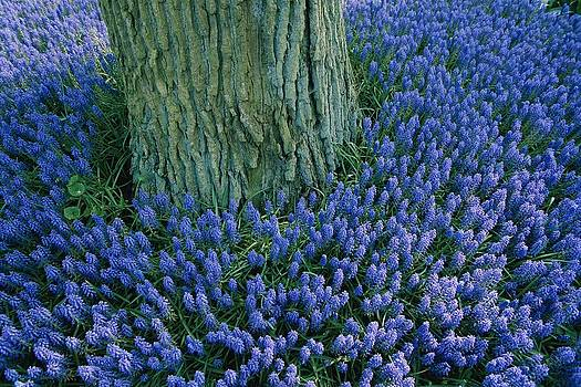 Lavender Muscari In The Keukenhof by Sisse Brimberg