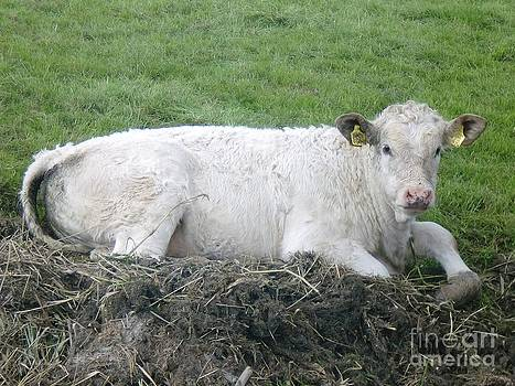 Lazy Cow by Anastasis  Anastasi