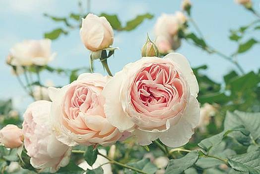 Light Pink Rose by Sunkies Fang