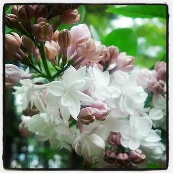 Lilac by Christy Bruna