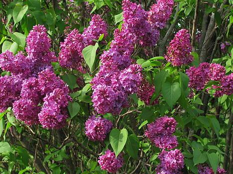 Lilacs In Bloom by Linda Gesualdo