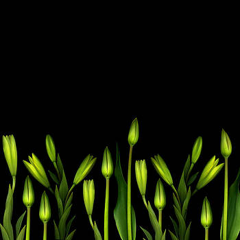 Lilies and tulip buds on black by Marlene Ford
