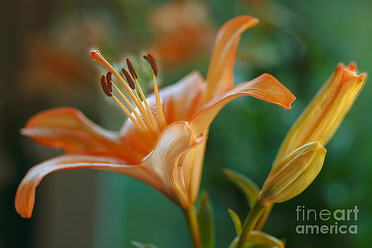 Lily blossoms by Anita Antonia Nowack
