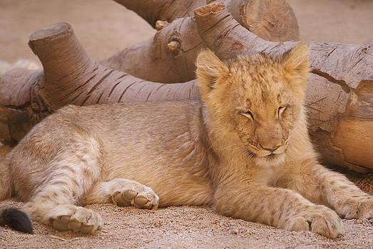 Lion by Nicole Champion