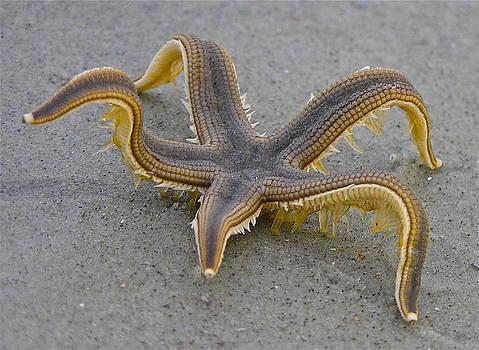 Lively Starfish by Teresa Grace Mock