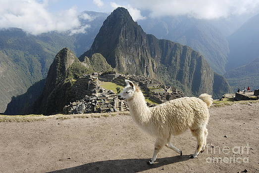 Llama and Machu Picchu by Tomaz Kunst