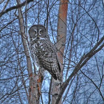 Lone Gray Owl by Sam Amato