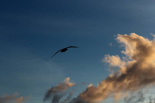 Lone Seagull by Andrew Ripley