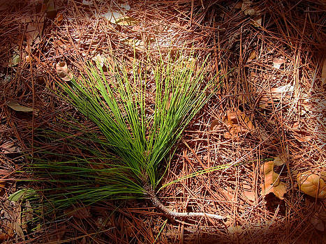 Longleaf pine needles by John Myers