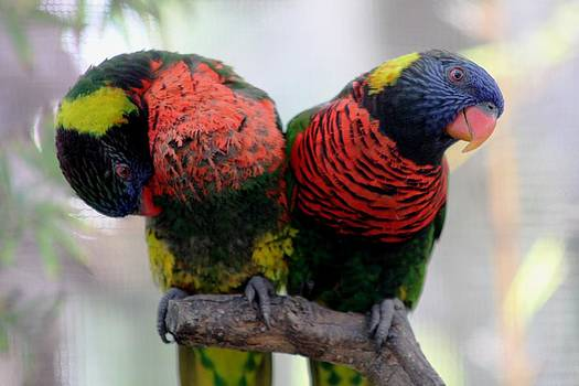Lorikeet Love by Bridget Finn