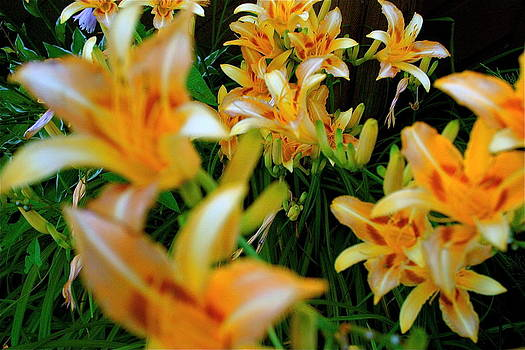 Louisville lillies  by Amy Savell