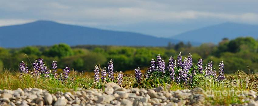 Lupins on a shingle beach by John Kelly