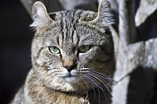 Lynx Cat by Susan Leggett