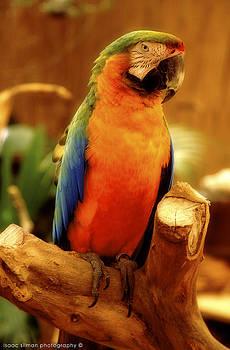 Isaac Silman - Macaw parrot