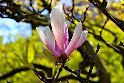 Magnolia by Felix Zapata