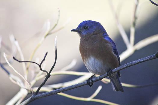 Teresa Mucha - Male Bluebird in Shade