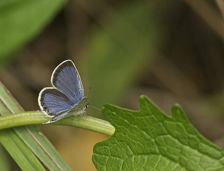 Michael Peychich - Male Eastern Tailed Blue Butterfly 3063