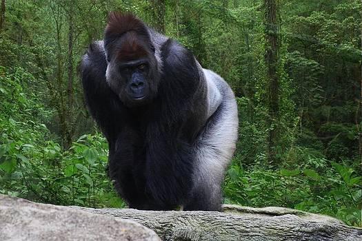 Male Gorilla by Anthony Wilder