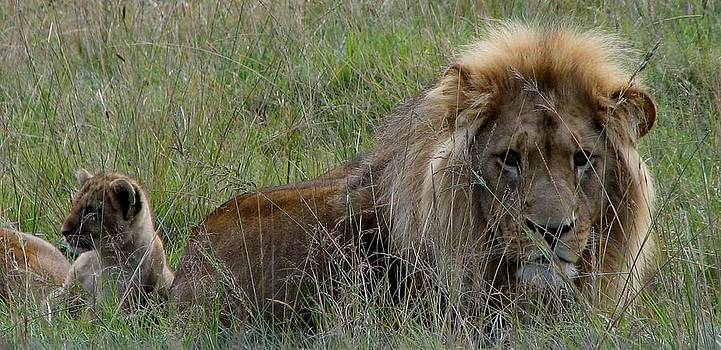 Male Lion and Cub by Nolan Taylor