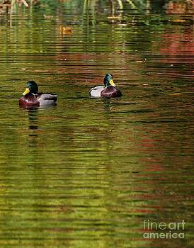 Mallards 3 by Marsha Thornton