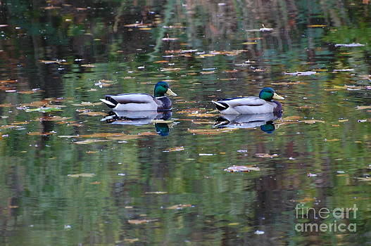 Mallards by Marsha Thornton