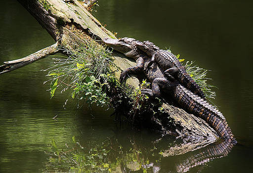 Paulette Thomas - Mama Alligator with her Baby