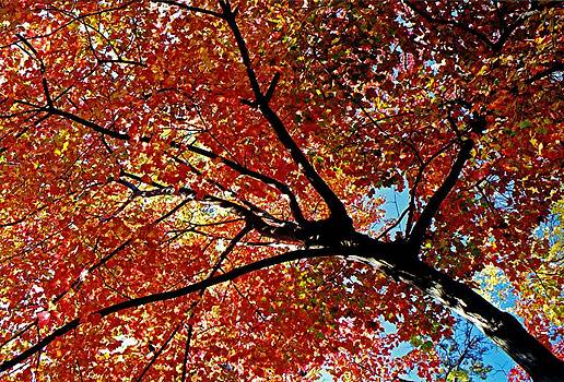 Juergen Roth - Maple Tree in Autumn Glow