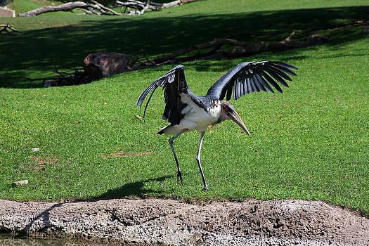 Marabou Bald Stork by Anthony Wilder