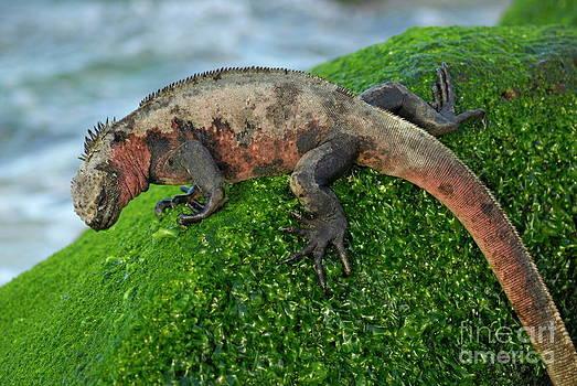 Sami Sarkis - Marine Iguana on rock