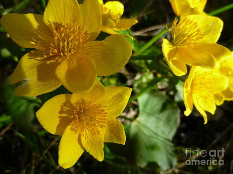 Sue Wild Rose - Marsh Marigolds